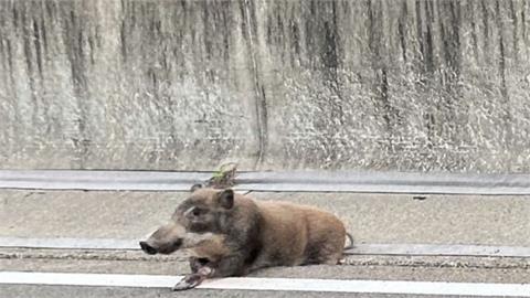 75公斤野豬誤闖高速公路!腳卡動不了…「拯救野豬」封路塞車4公里