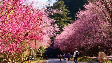 賞櫻行程先排起來! 武陵農場110年度櫻花季疏運管制出爐 11月1日同步開放團客預約