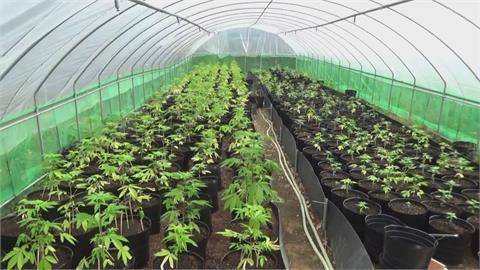 近500坪溫室農場竟種植1608株大麻 植株史上最大宗大麻案!疑宗師級大麻師傅指點