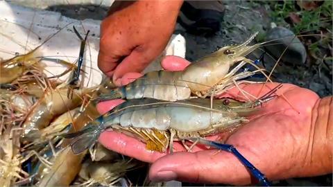 疫情重創泰國蝦市場 養殖戶盼紓困補貼