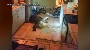 3.3米巨鱷闖民宅灌掉紅酒發酒瘋 動員12人才制伏