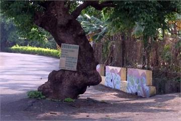 百年老茄苳樹 某角度貌似復活島石像