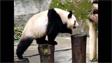 中國2隻貓熊送高雄? 一年需花3000萬