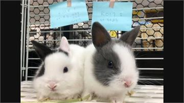 民宅兔子失控繁殖 志工垃圾堆救出57隻兔