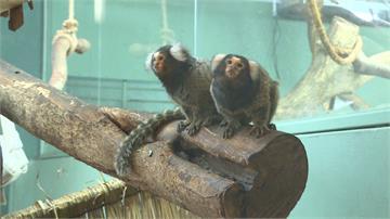 動物園收編走私動物 超萌「普通狨」見客