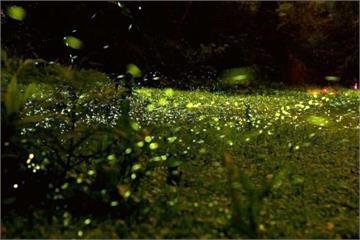 路燈換成生態燈 三義螢火蟲數量暴增