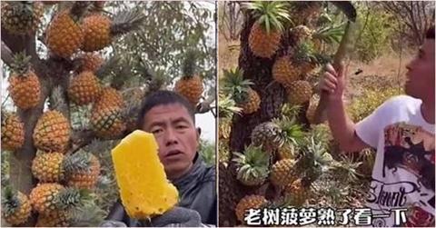 超荒謬!中國廣告把鳳梨黏在樹上 網笑:樹葡萄原理?