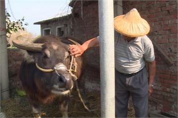 老牛被送去「新家」 主人來探望牠哭了