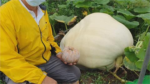 宜蘭大南瓜體重破100kg!成人雙手無法環抱...果農笑稱比照顧孩子還辛苦