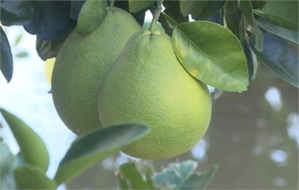 中秋柚子比一比!營養師列「4種柚子」營養價值:這1種熱量最高
