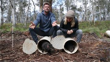 雷神下凡做保育!絕跡3千年「袋獾」重返澳洲