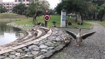 快新聞/鵝好兇!屏大4「校鵝」變臉攻擊人 原因竟如此暖心