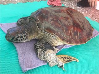 快新聞/又有綠蠵龜受傷受困... 送往海生館救治