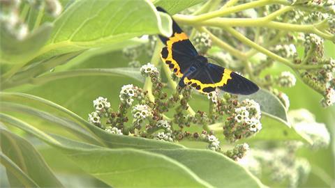 新北永和「橙帶藍尺蛾」入侵社區  外來種有毒又沒天敵 狂生吃光羅漢松