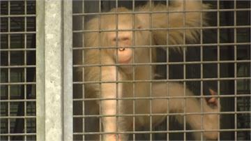 動保人員悉心照料 全球唯一白化紅毛猩猩重返大自然