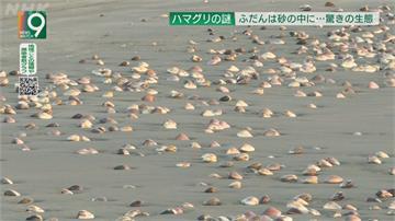 日本九十九里濱文蛤爆量「綿延10公里」!專家:因海水溫度異常