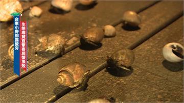 一位難求!小野柳露營夯 生態導覽直擊寄居蟹換殼