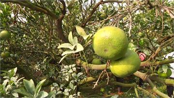 天氣異常乾旱 雲林苗栗柑橘減產