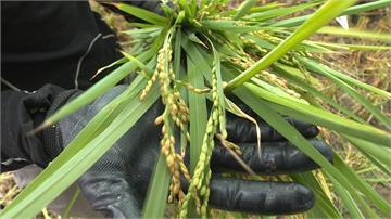 搶收稻作恐釀價跌 農委會:收購價保證不變