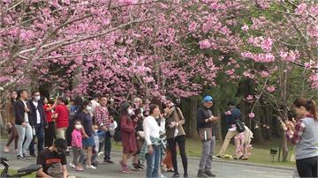防疫還是要賞櫻!228連假台灣景點湧人潮