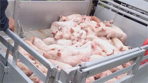 場面驚人!300隻小豬齊放聲尖叫 載豬車翻覆警消到場看傻眼