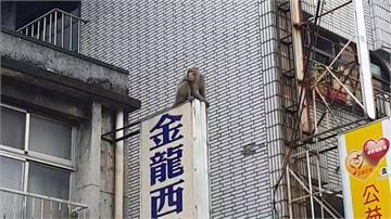 野生獼猴「大鬧」基隆市區!動保所抓猴失利