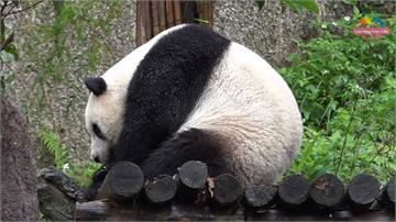 圓仔找不到老公?「大貓熊繁育技術委員會年會」台灣遭拒門外