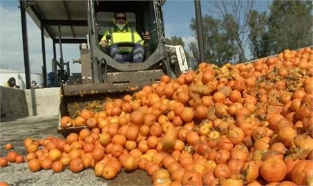 產量過剩太麻煩 西班牙用柑橘發電
