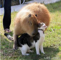 長相療癒的水豚在動物界根本就是「親善大使」!11張水豚與動物的相處照,真的是瞬間被療癒~