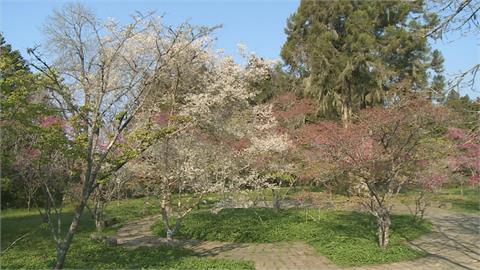 阿里山櫻花季開跑!  粉嫩春櫻滿山頭「夢幻又浪漫」