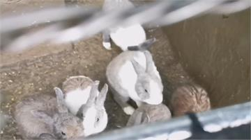 小動物藏恐怖野性!一歲童手指被兔子咬斷 斷指仍找不到