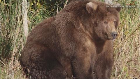 阿拉斯加胖熊比賽結果出爐 牠靠這招「懶哲學」養啤酒肚奪四連霸