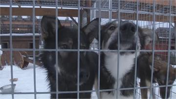 芬蘭觀光功臣哈士奇 4000隻狗狗誰來照顧?