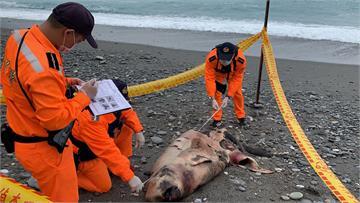 快新聞/花蓮岸邊驚見死亡抹香鯨 海巡獲報採樣就地掩埋