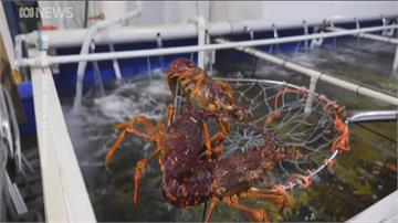 要吃龍蝦趁現在! 中國阻澳洲龍蝦 台灣便宜吃