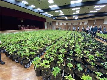 快新聞/禮堂變大麻森林!調查局攻破史上最多大麻案 市值超過5億