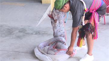 阿美族豐年祭  莿桐部落海祭抓到「地震魚」