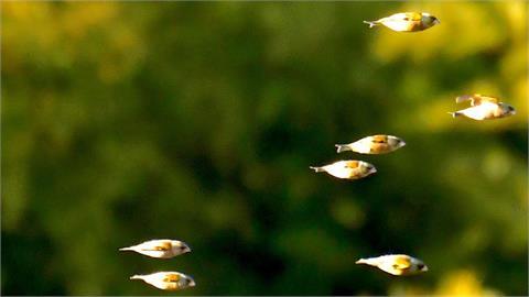 相信你的眼「會飛的魚」在這裡!他拍下真相網友全喊不敢置信