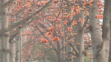 暖冬木棉花提早盛開!雲林145線道一片火紅