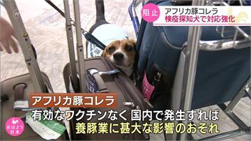 防非洲豬瘟!日本成田機場增加檢疫犬