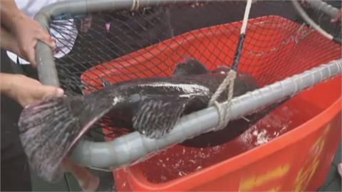 澎湖漁民捕獲超大龍膽石斑 長150公分重130公斤 估已活30年
