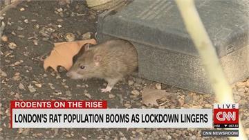 封城期間「全面攻佔」!倫敦老鼠肆虐問題加劇 出沒機率暴增五成