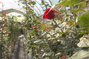 寒流影響產量銳減 埔里玫瑰花農叫苦
