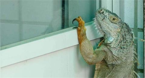 哥吉拉出沒?80公分綠鬣蜥闖住宅區 專家曝闖住家原因
