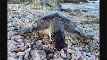 後壁湖驚見綠蠵龜三死 一隻已屍身腐爛