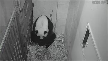 奇蹟!華府大貓熊美香高齡產子 冷凍精子受孕喜迎第4胎