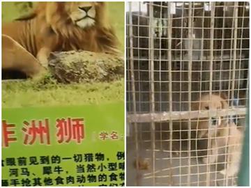 非洲獅區只有黃金獵犬!中國家長傻眼:怎麼跟孩子解釋?