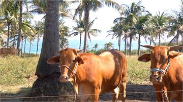 金門牛結節疹疫情擴大 12個牛場 50隻疑例