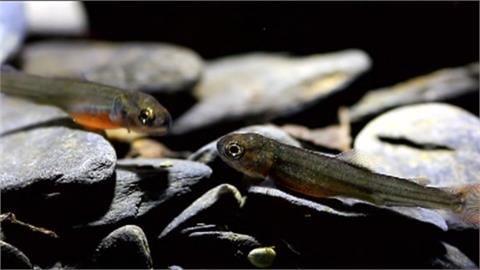 櫻花鉤吻鮭復育有成 闢片綠地!1萬3千棵樹明年底完成