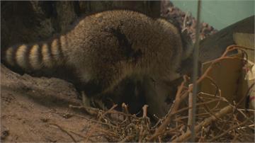 受虐浣熊搬新家!入住木柵動物園 1隻減肥中、另3隻適應良好見客了!